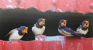 Young swallows begging for food, a picture from Birds of The Homeplace, a new hardback by Anthony McGeehan and Julian Wyllie.