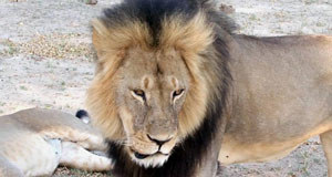 Zimbabwe seeks dentist's extradition over Cecil the lion killing