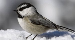 The mountain chickadee stashes away food, when it's plentiful, for later consumption.