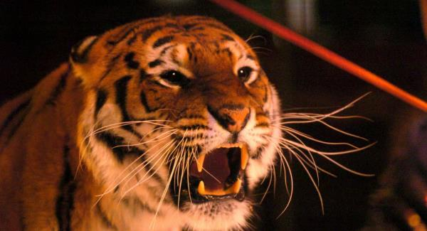 Ireland bans wild animals from circuses