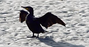 A cormorant drying its wings on an Irish beach in the afternoon sunshine. Some 40% of the world's shags breed along the coasts of Britain and Ireland.Picture: Denis Minihane