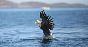 A generic white tailed eagle