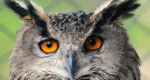 A file photo of an eagle owl