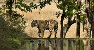 a male Bengal tiger walking beside a lake in Bandhavgarh National Park in Madhya Pradesh, India.