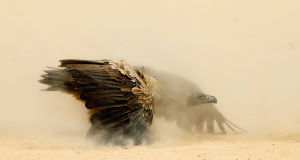 Irishman Peter Delaney's 'Showdown' was one of the winners  in the  Wildlife Photographer of the Year exhibition.