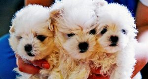 A file photo of puppies