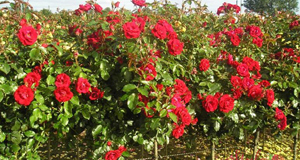 Roses symbolise different things depending on colour but red, such as this Rosa 'Ruby Wedding' hybrid, suggest true love.