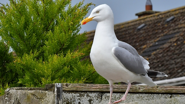 The coastal town fighting back against a seagull infestation